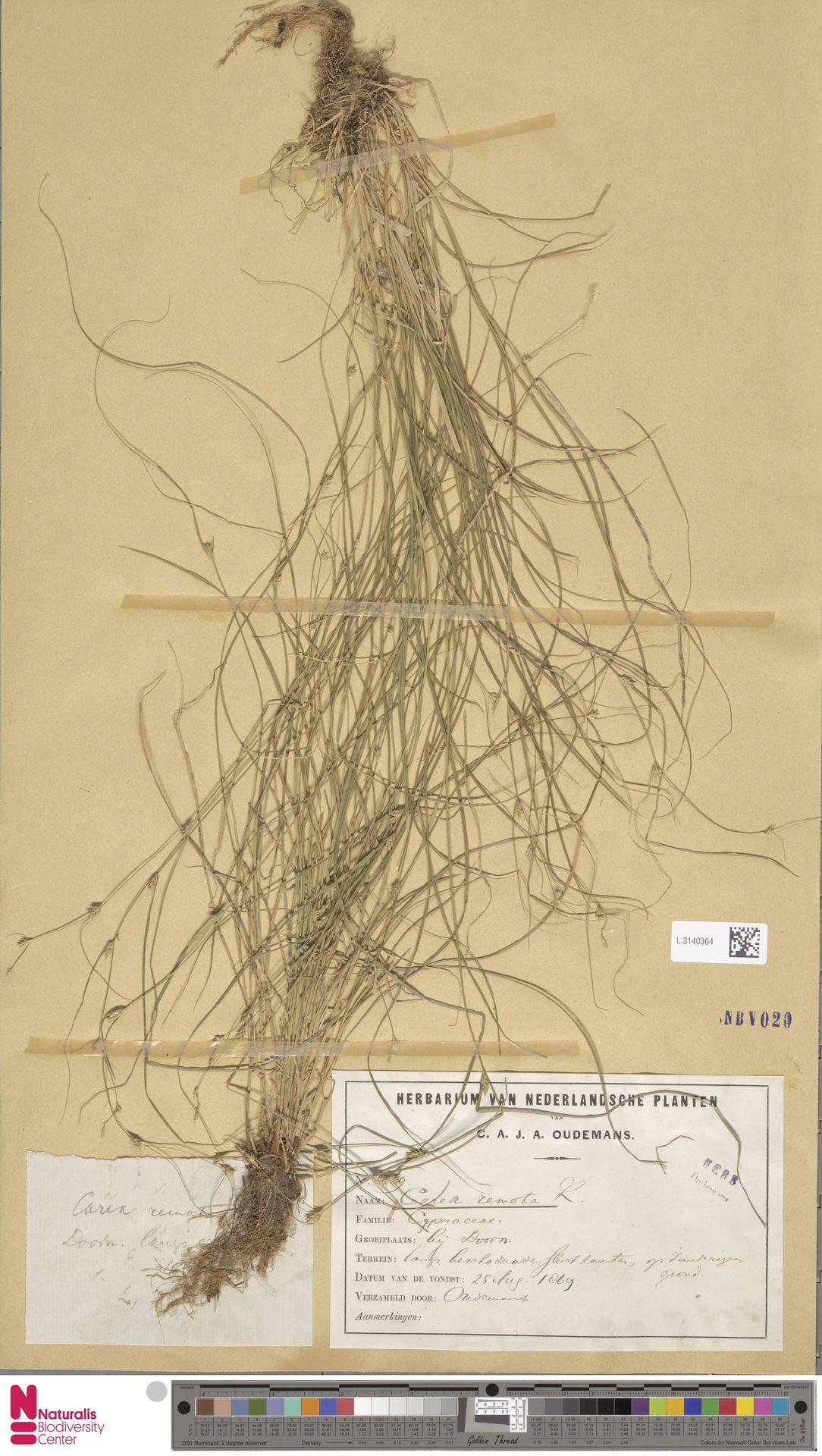 L.3140364 | Carex remota L.