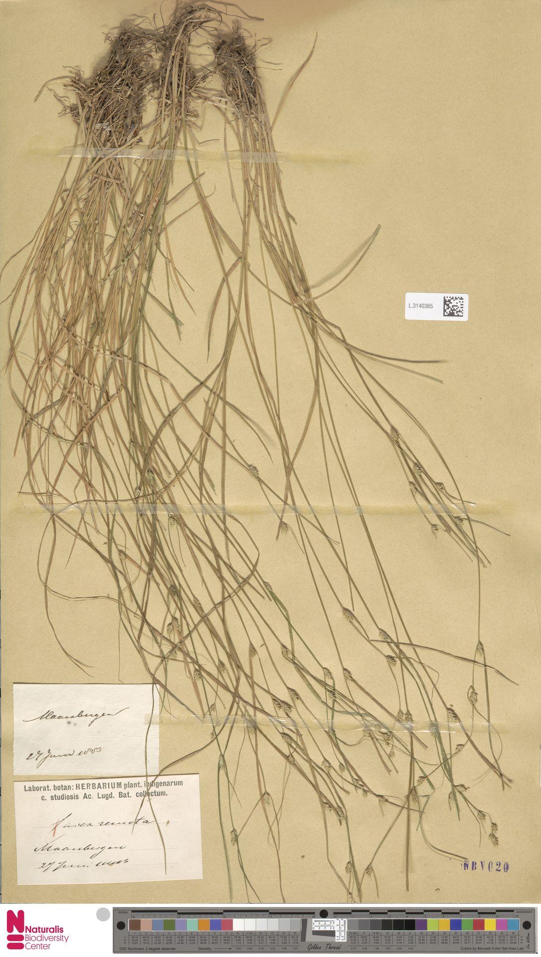 L.3140365 | Carex remota L.