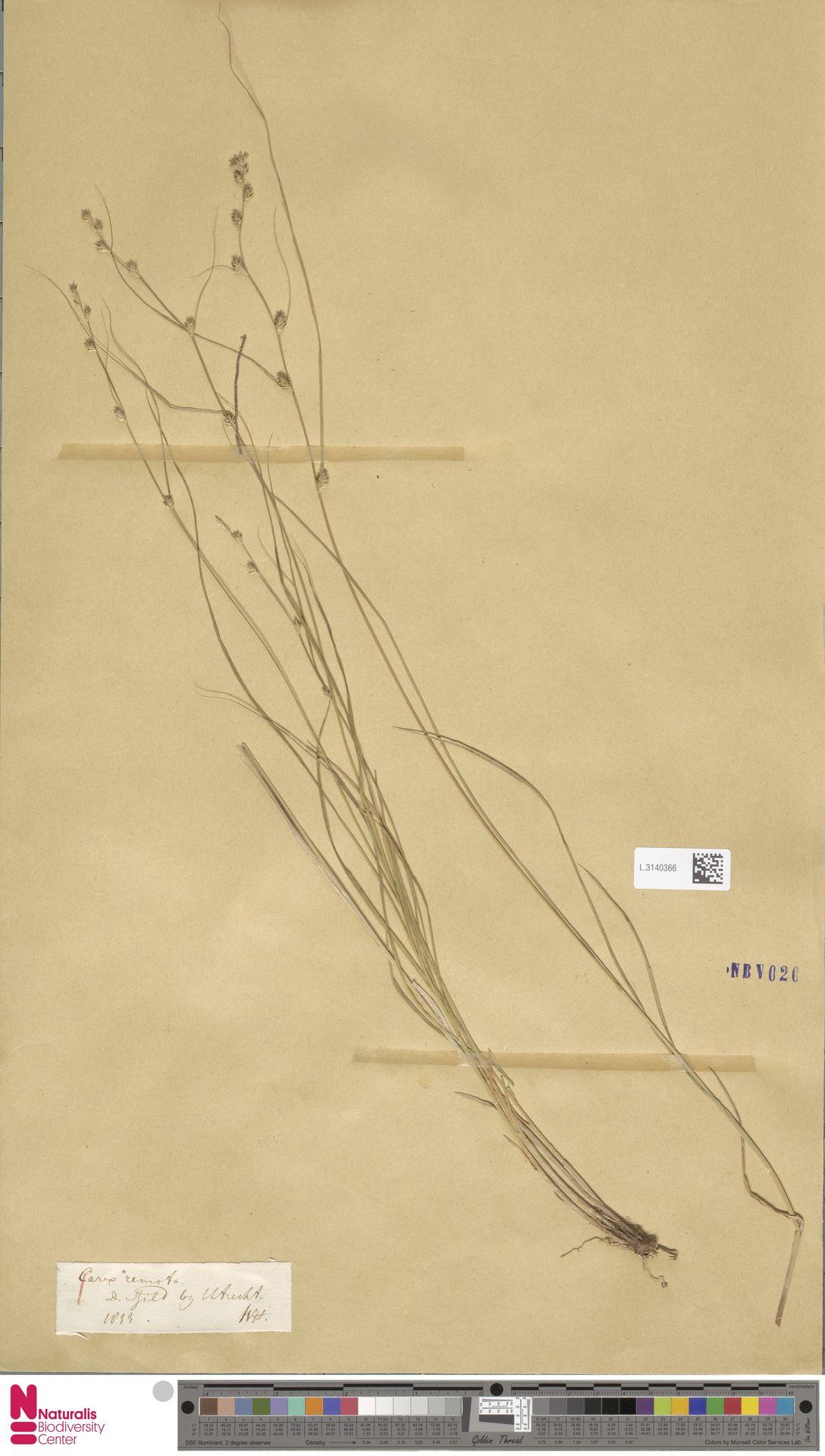 L.3140366 | Carex remota L.