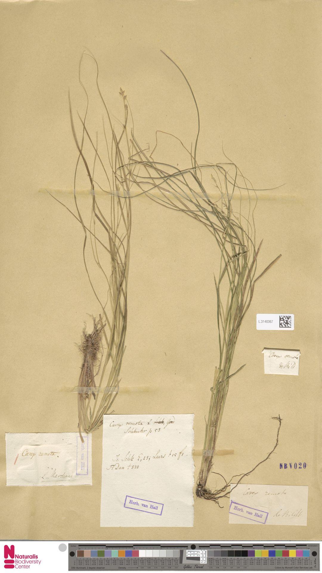 L.3140367 | Carex remota L.