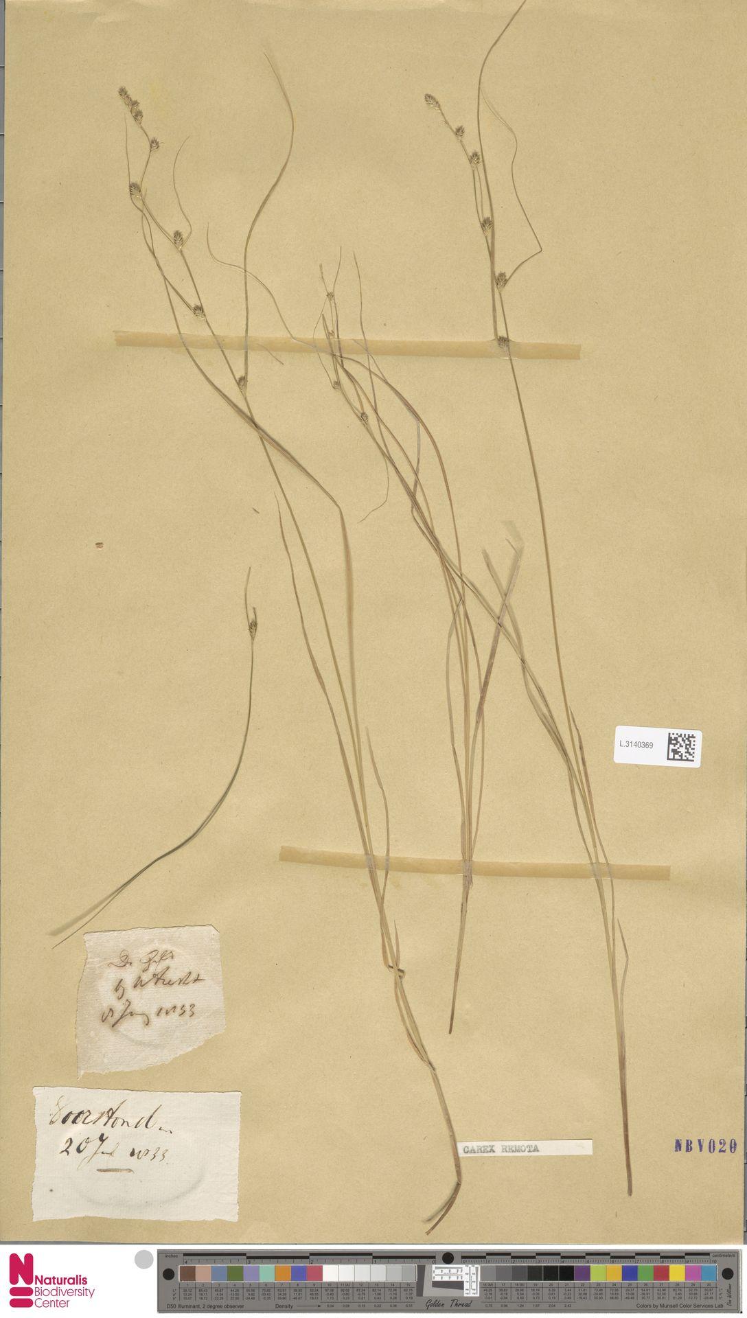 L.3140369 | Carex remota L.