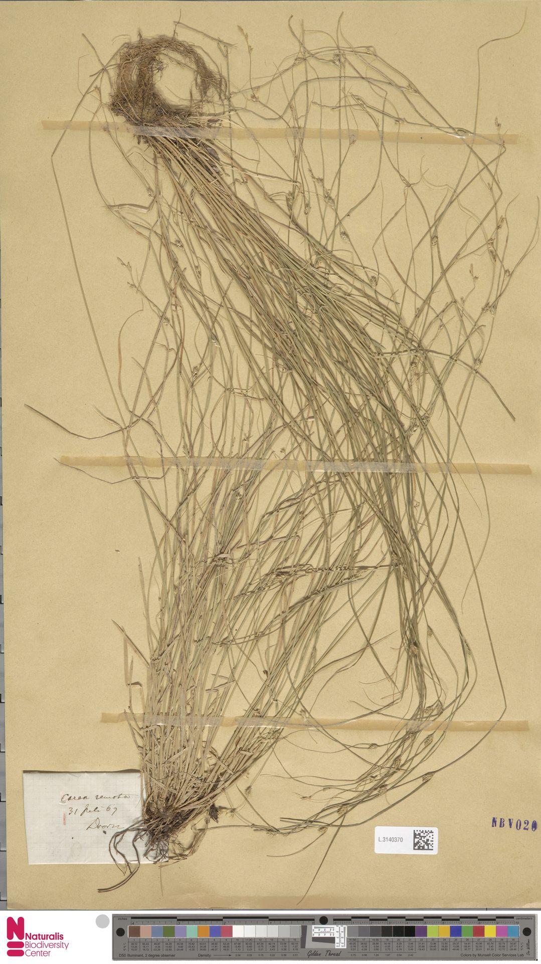 L.3140370 | Carex remota L.
