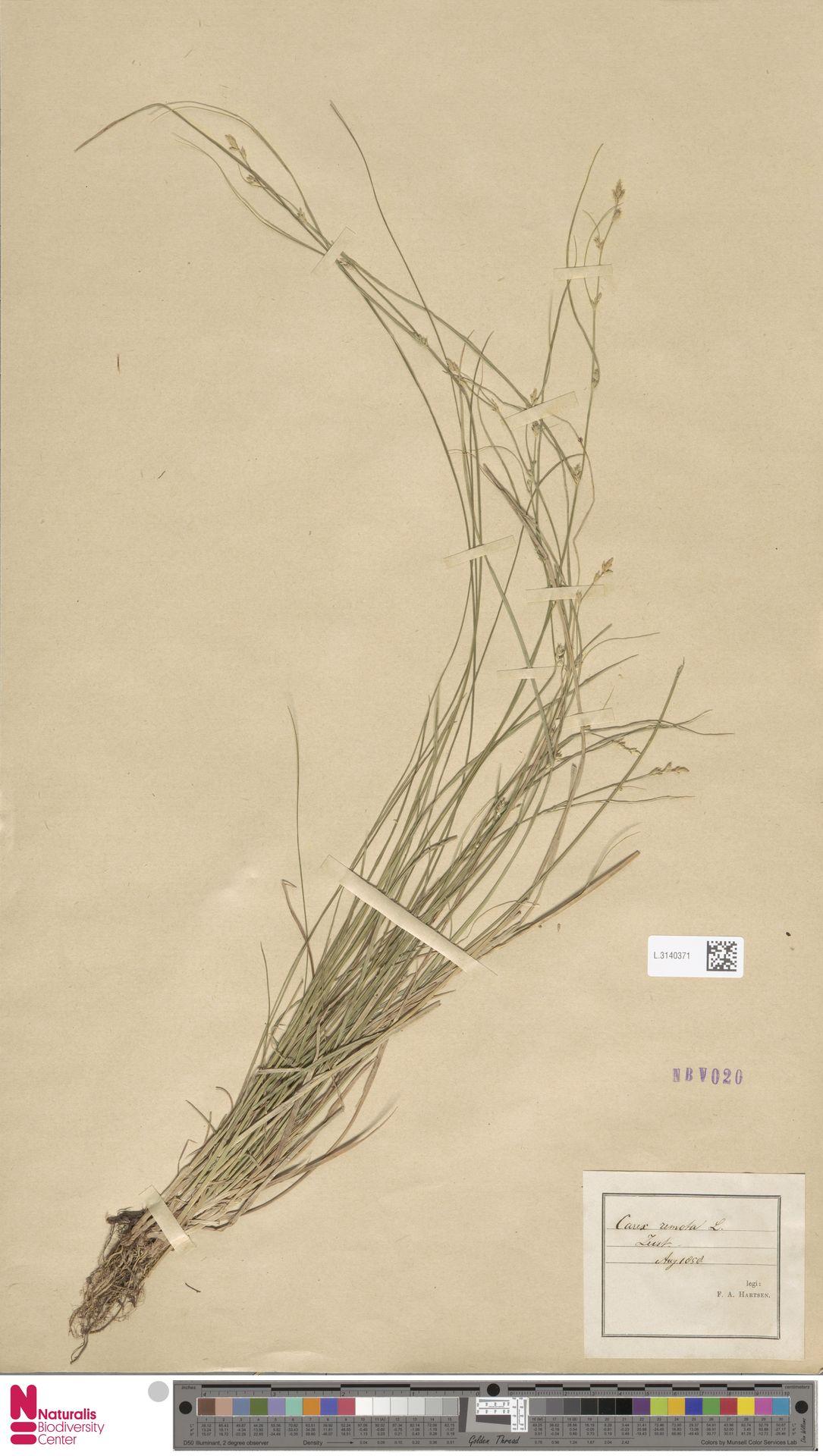 L.3140371 | Carex remota L.