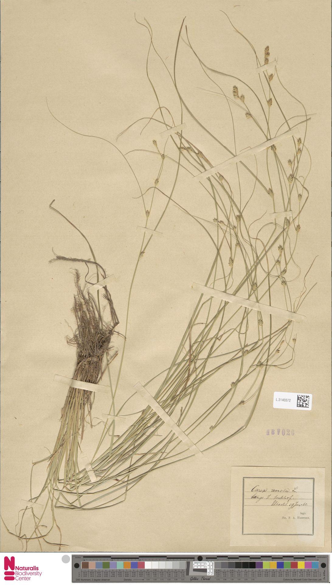 L.3140372 | Carex remota L.