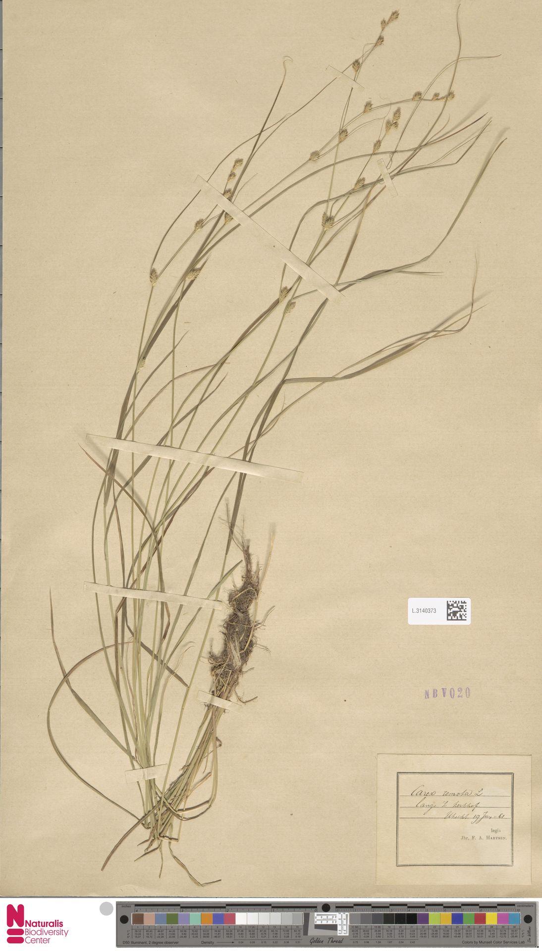 L.3140373 | Carex remota L.