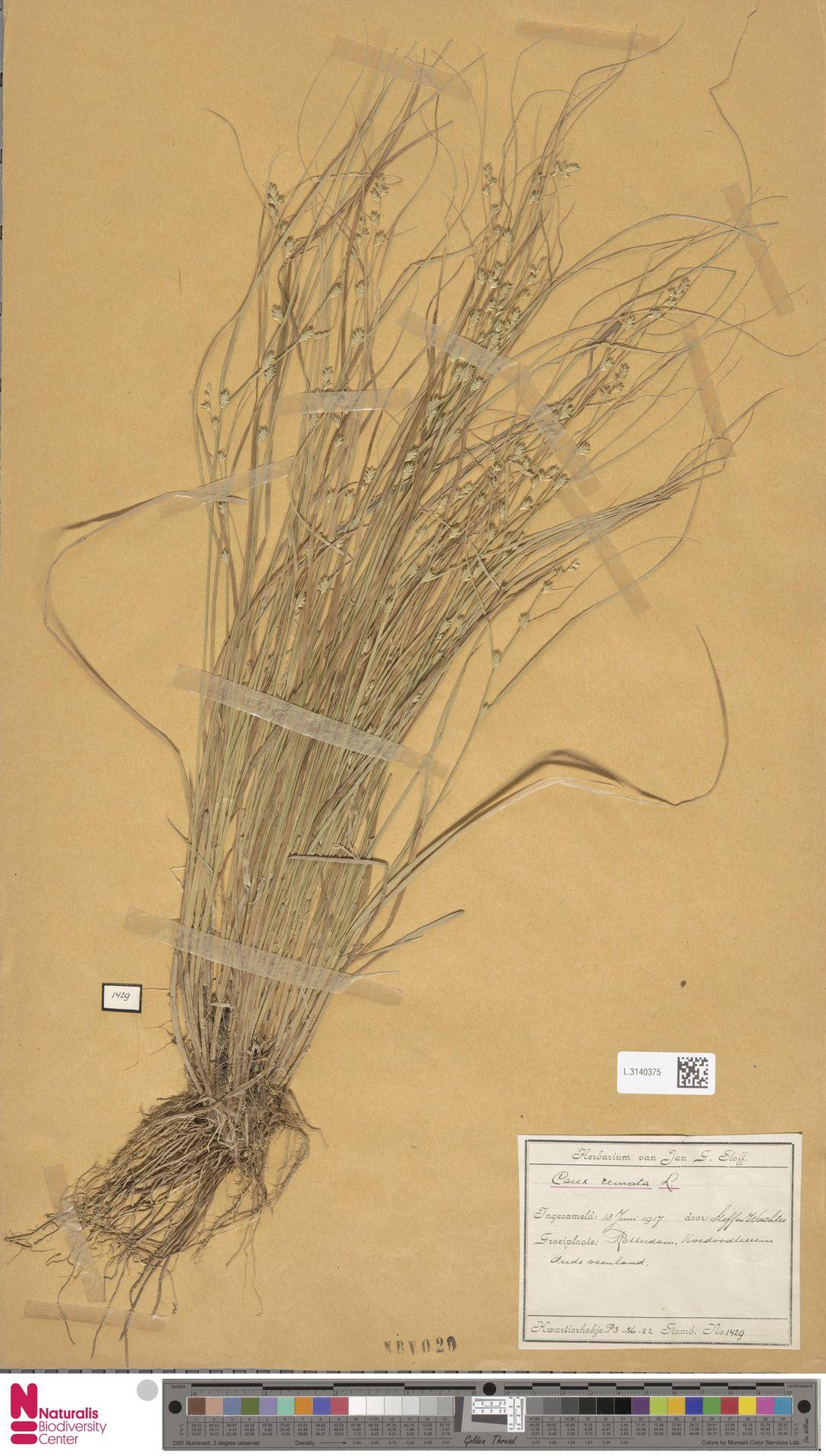 L.3140375 | Carex remota L.