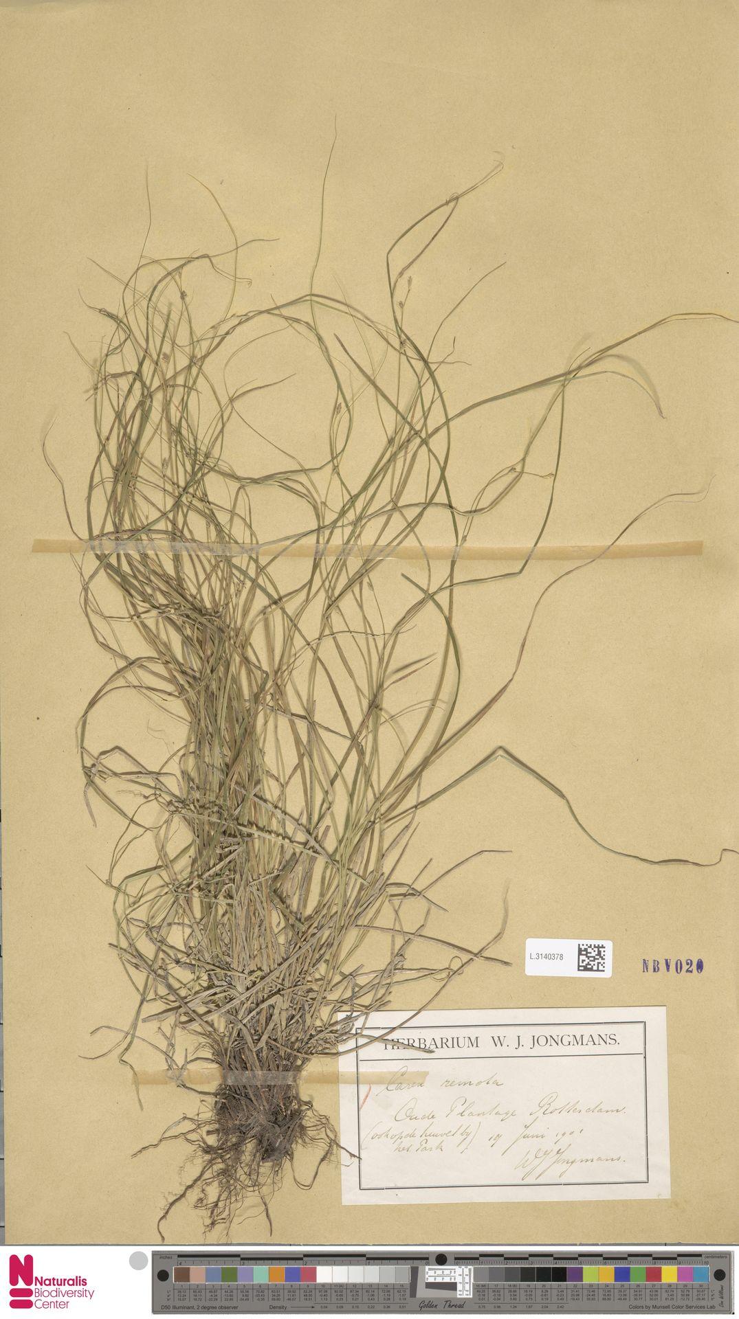 L.3140378 | Carex remota L.