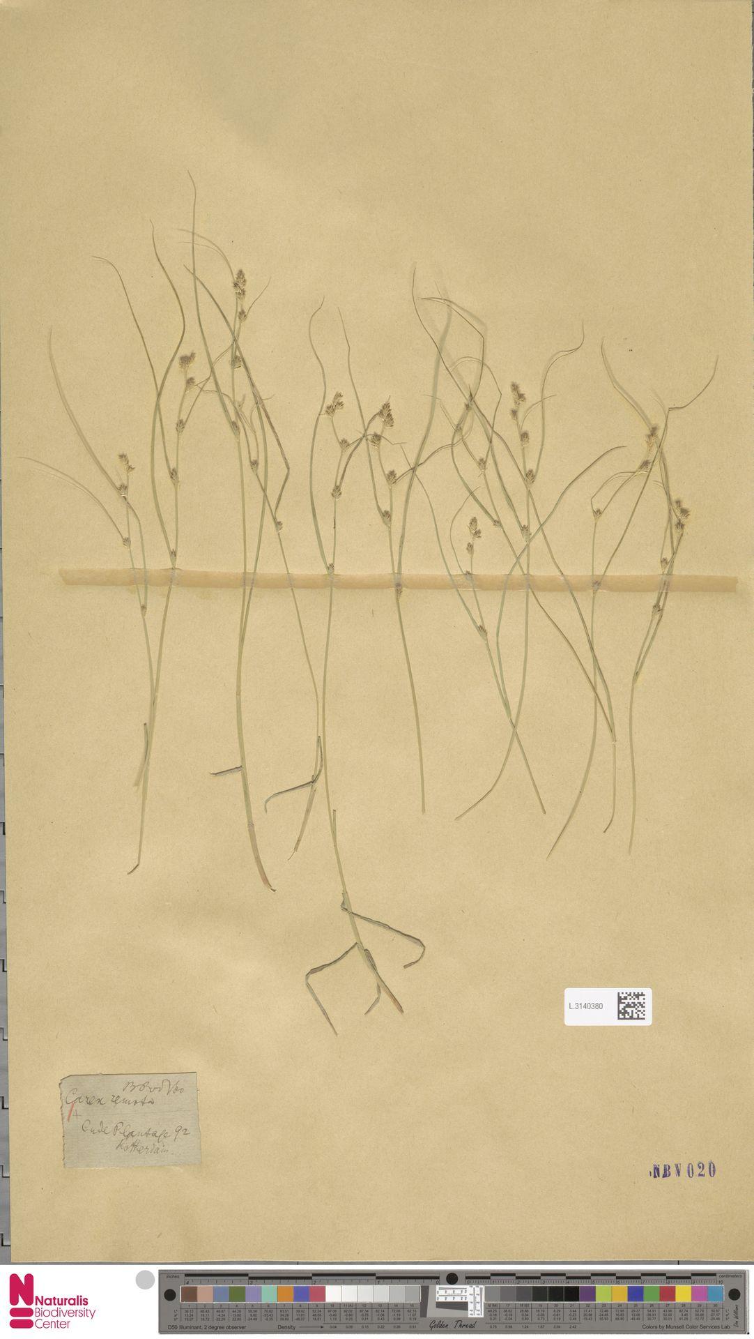 L.3140380 | Carex remota L.