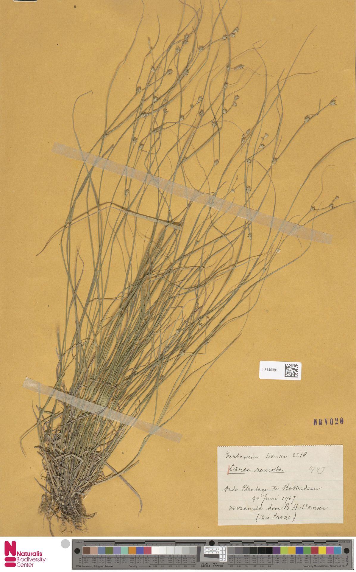 L.3140381 | Carex remota L.