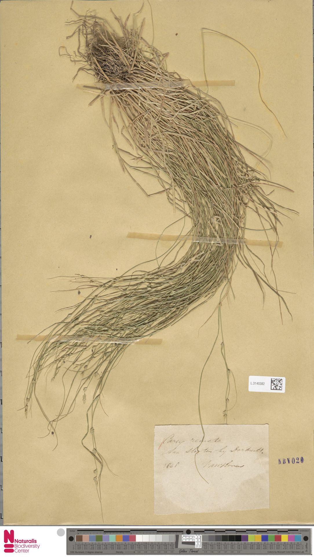 L.3140382 | Carex remota L.