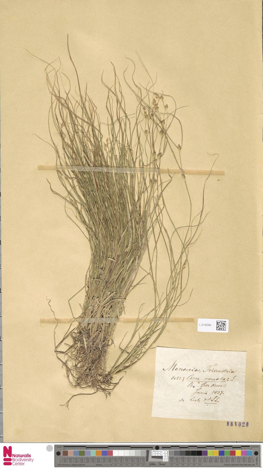 L.3140384 | Carex remota L.