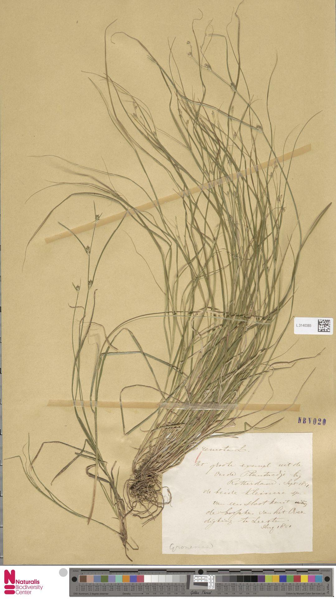 L.3140385 | Carex remota L.