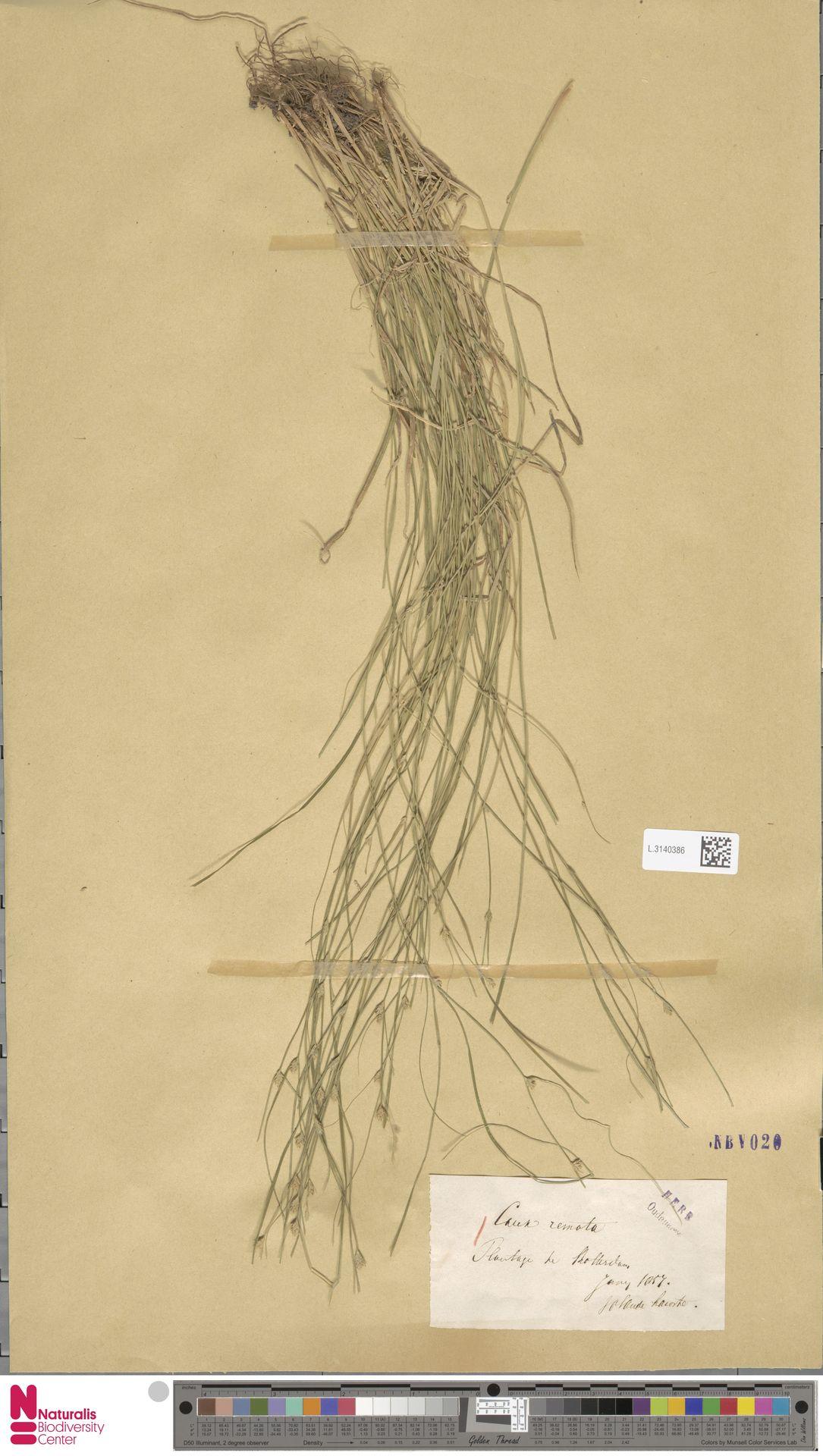 L.3140386 | Carex remota L.