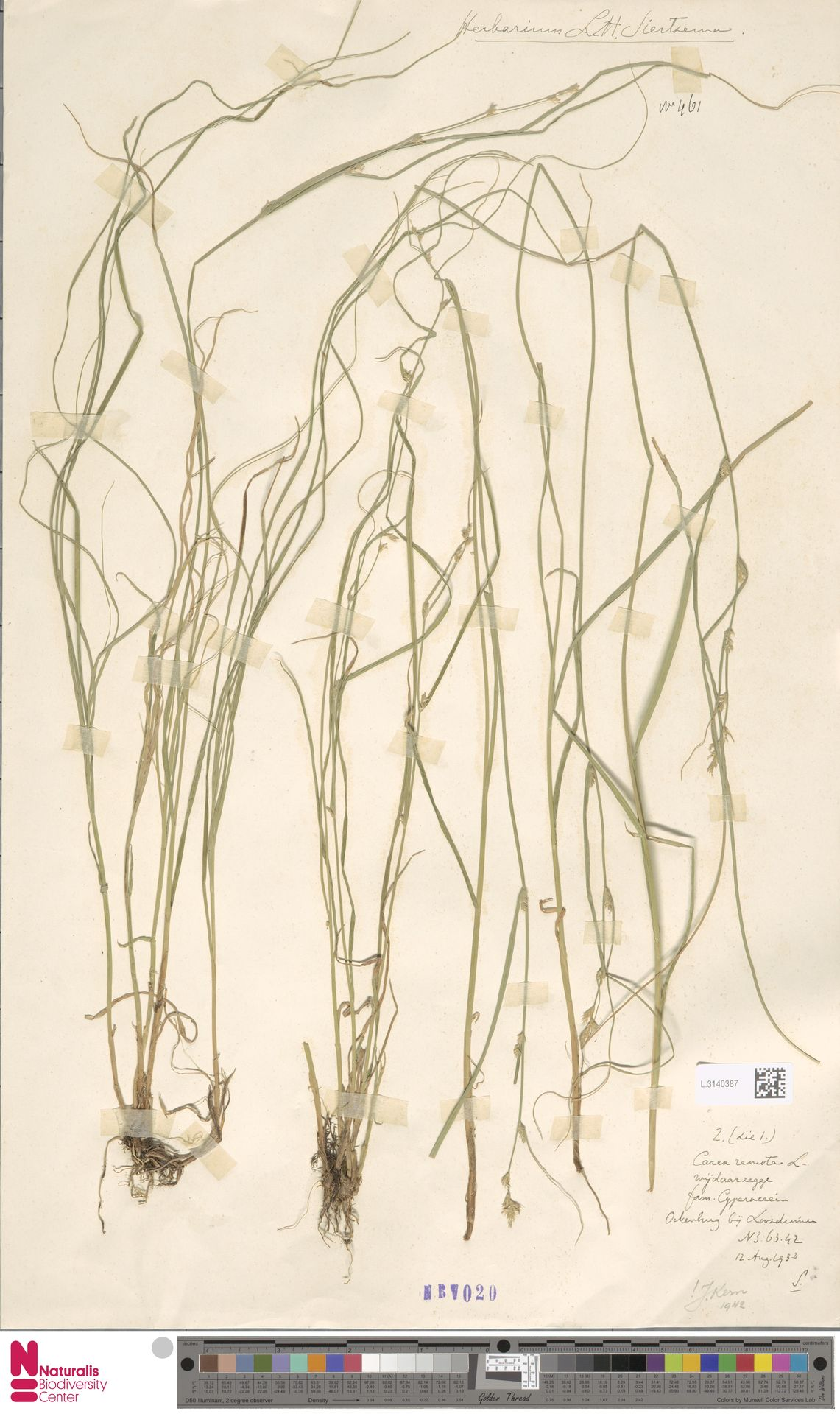L.3140387 | Carex remota L.