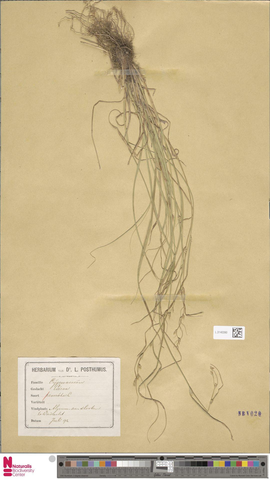 L.3140390 | Carex remota L.