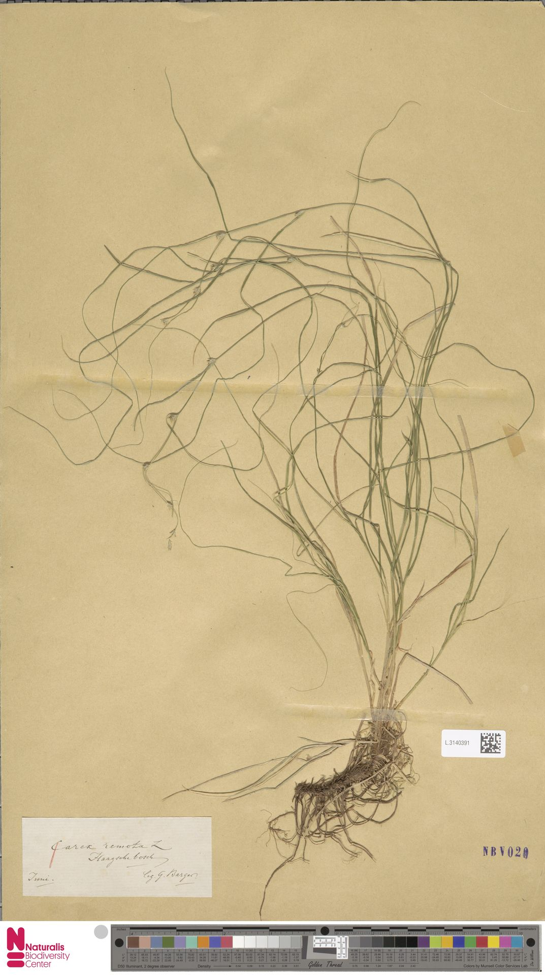 L.3140391 | Carex remota L.