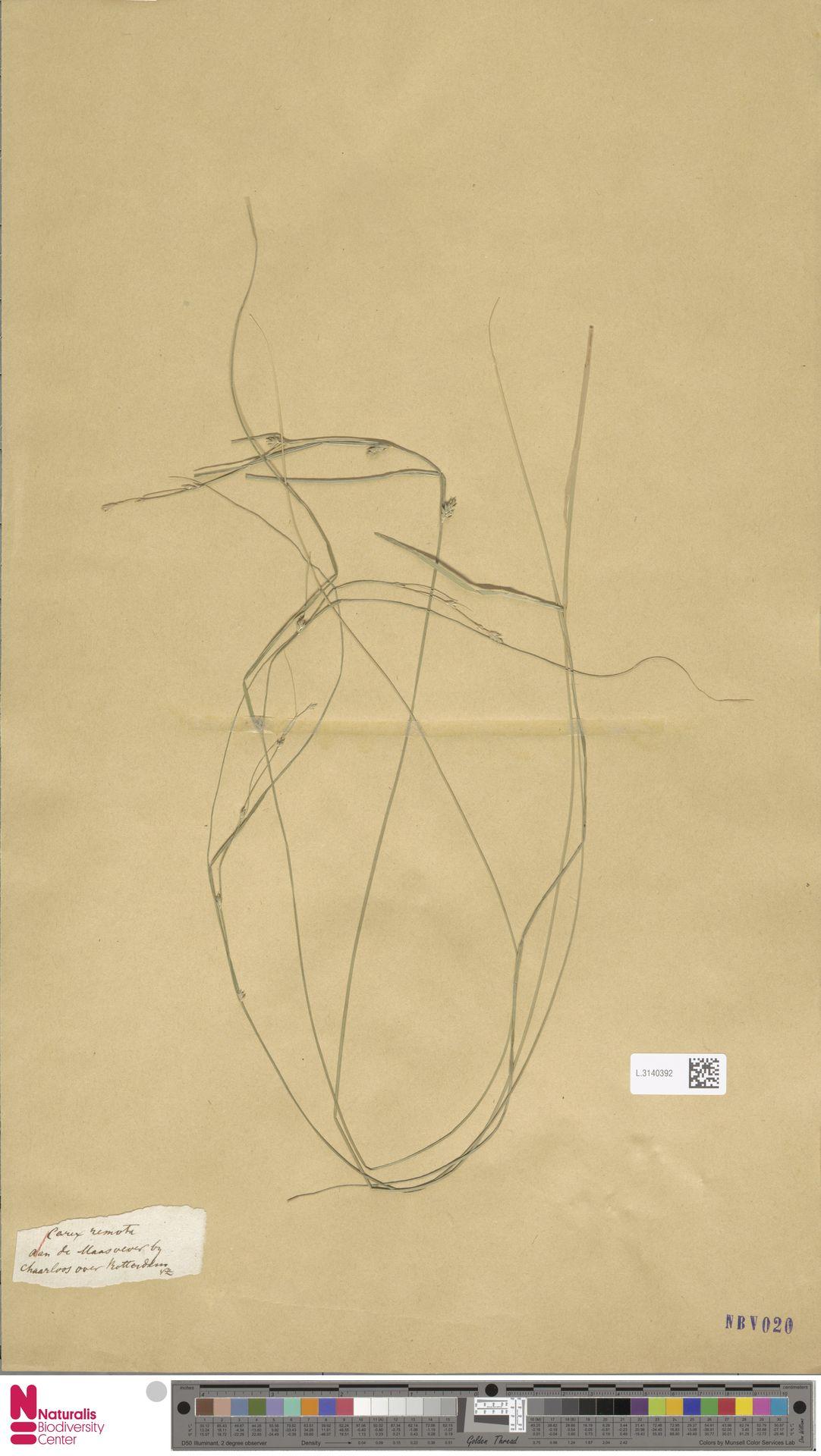 L.3140392 | Carex remota L.