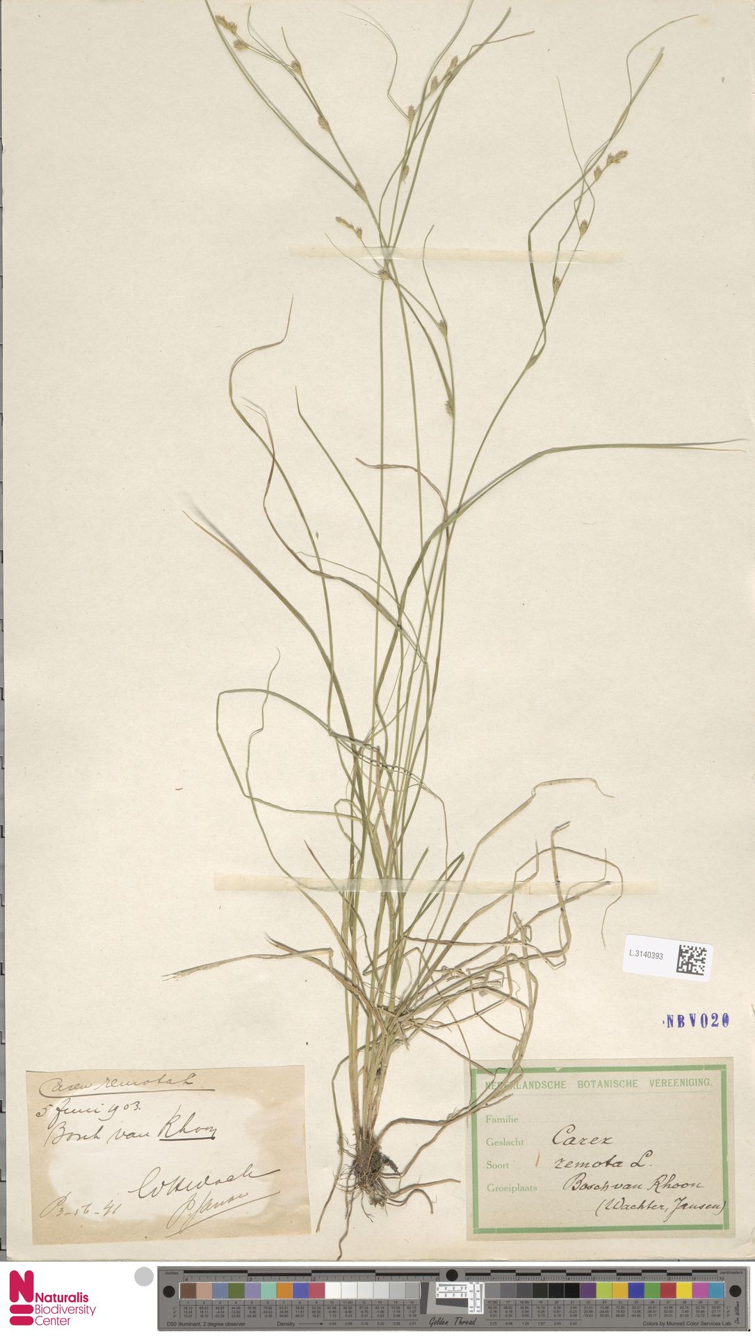 L.3140393 | Carex remota L.