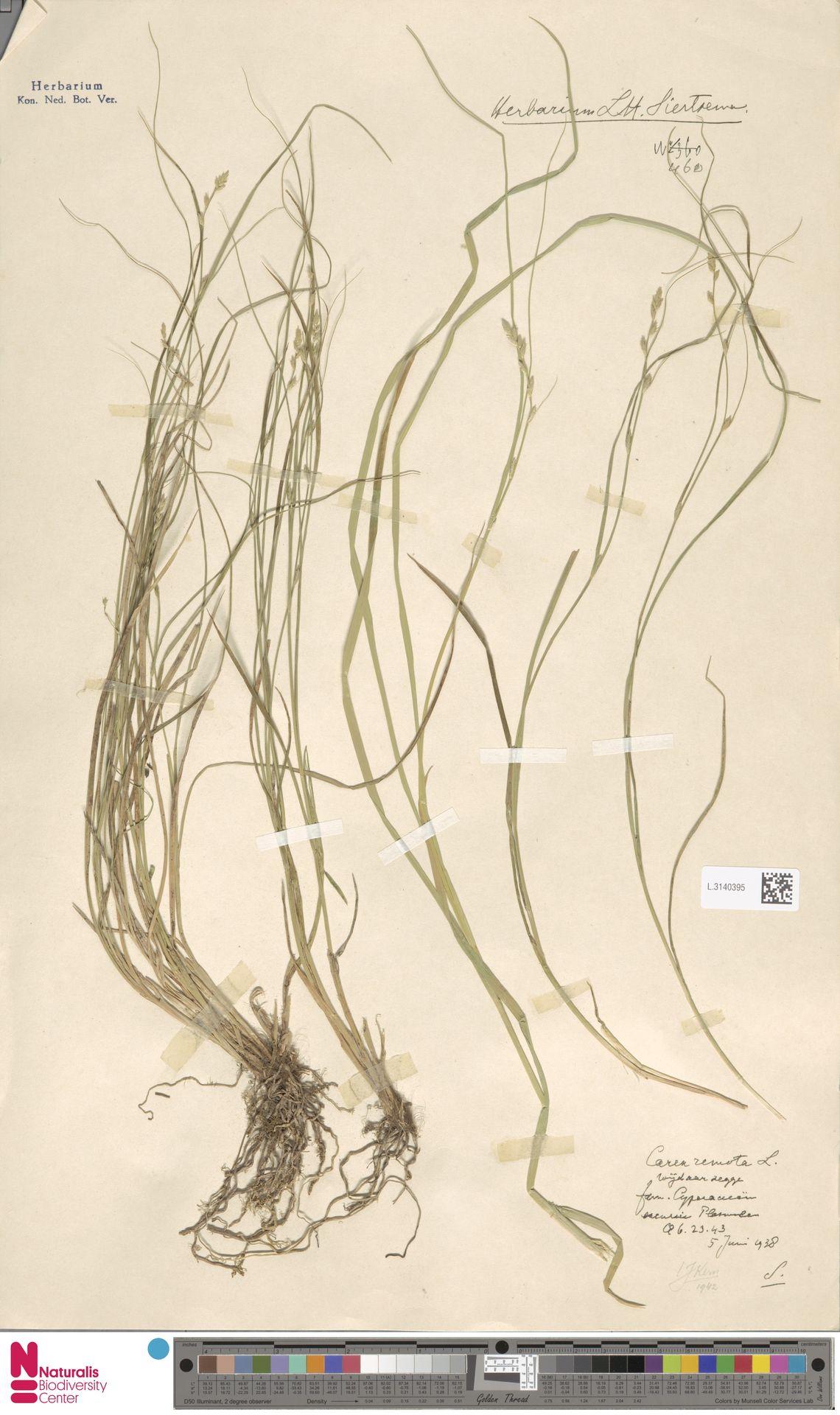 L.3140395 | Carex remota L.