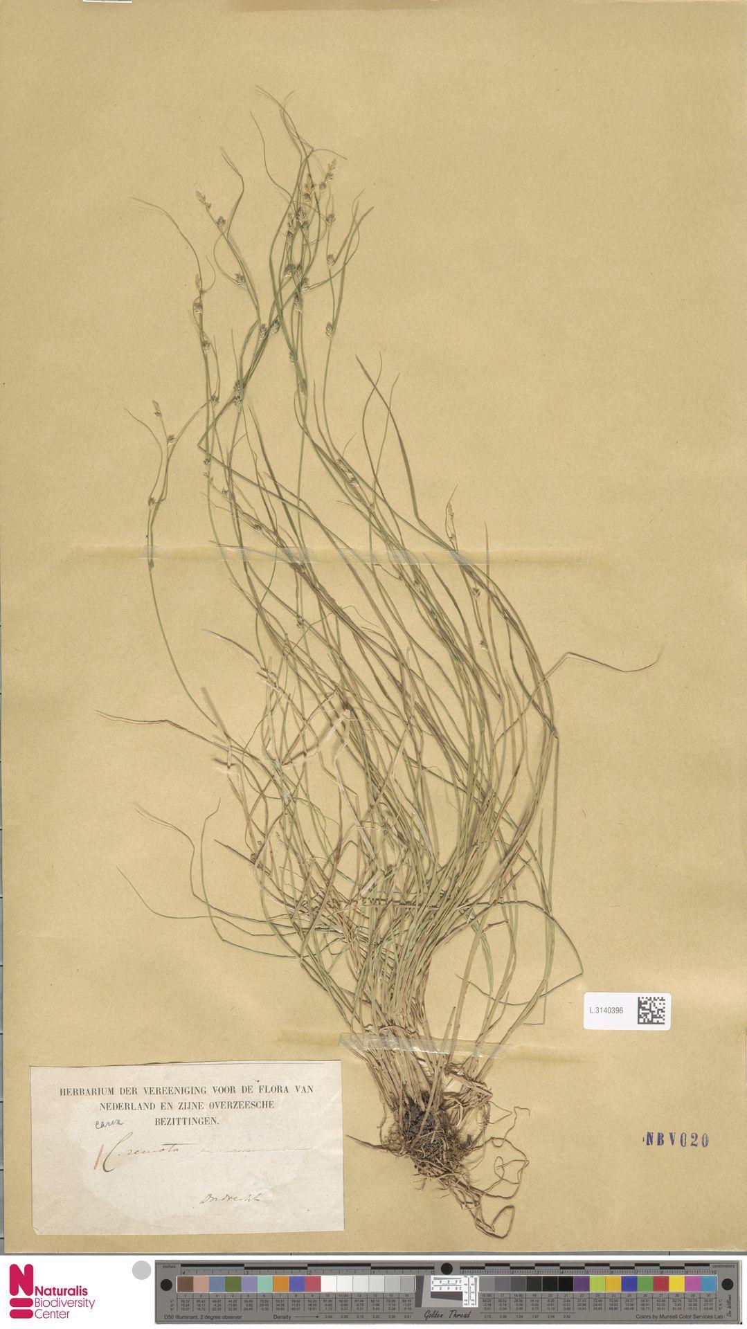 L.3140396 | Carex remota L.