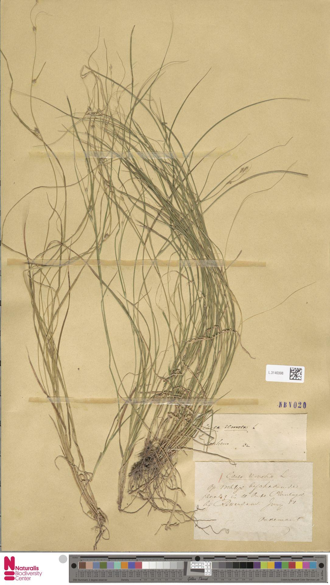 L.3140398 | Carex remota L.