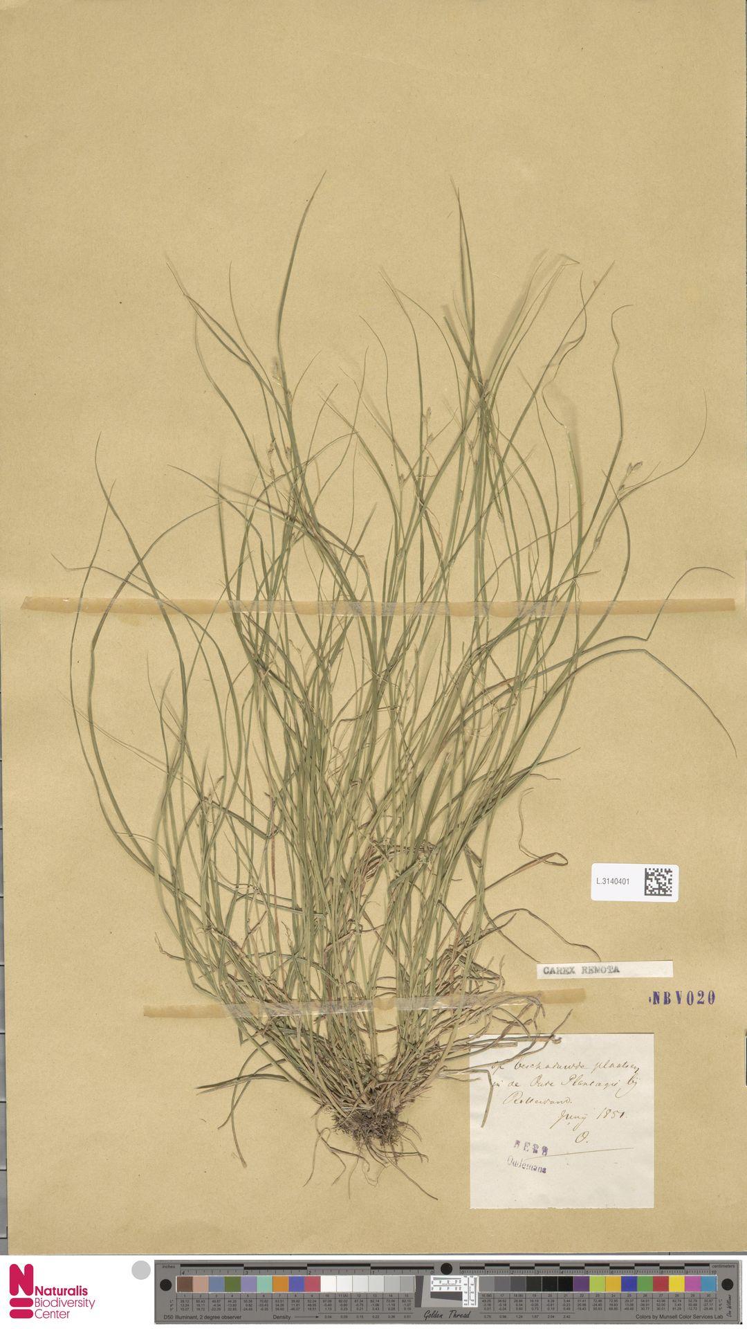 L.3140401 | Carex remota L.