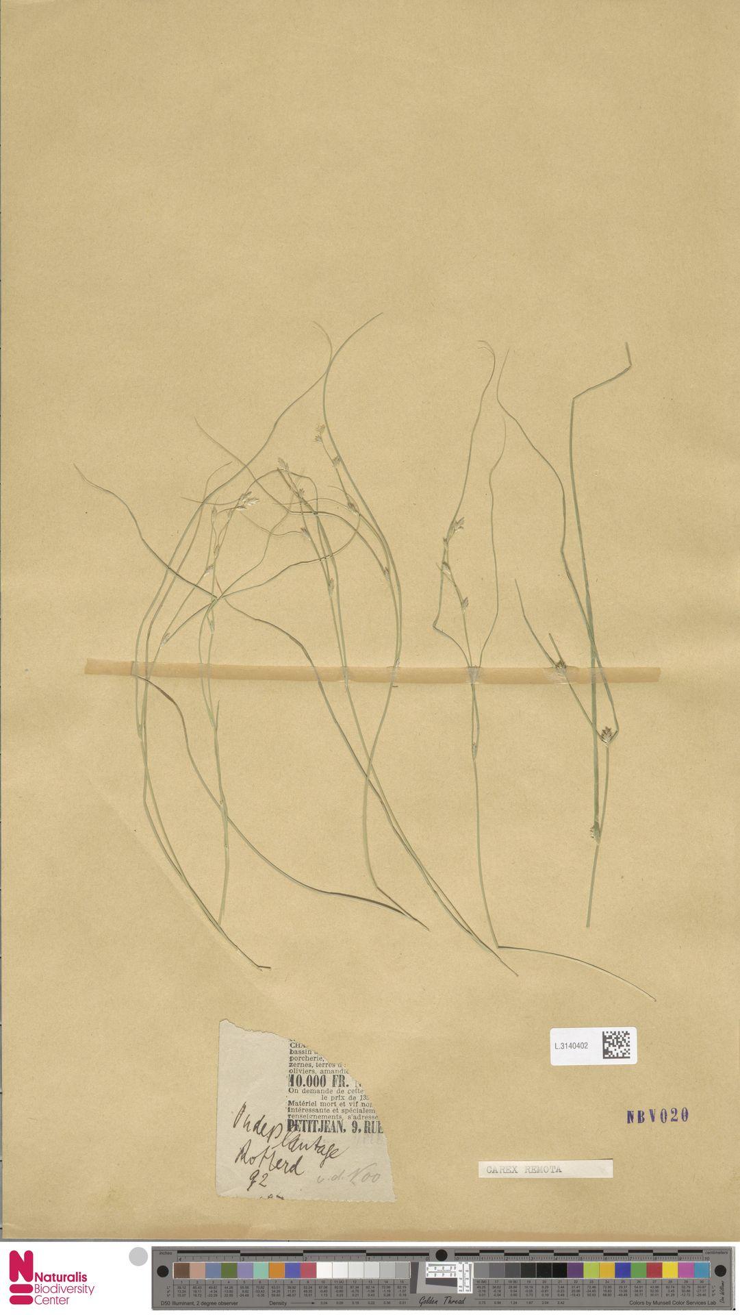 L.3140402 | Carex remota L.
