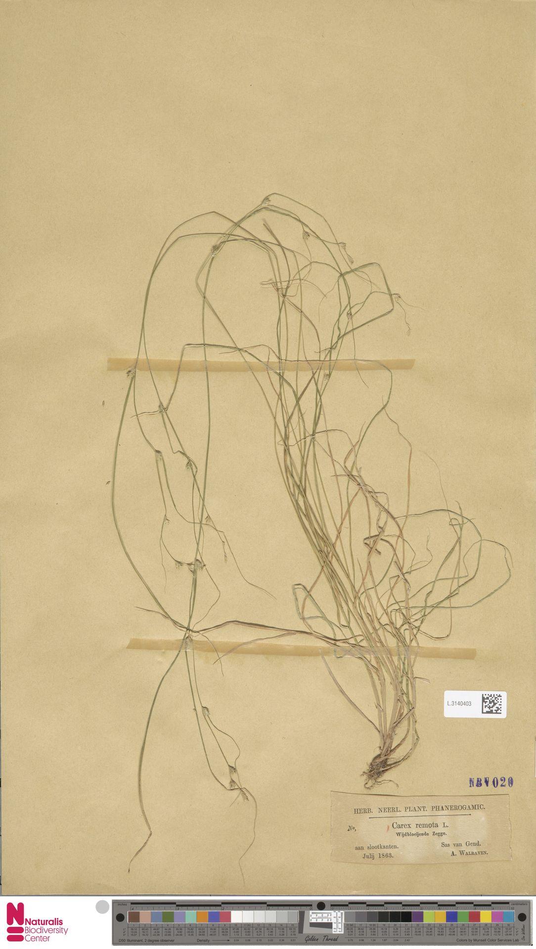 L.3140403 | Carex remota L.