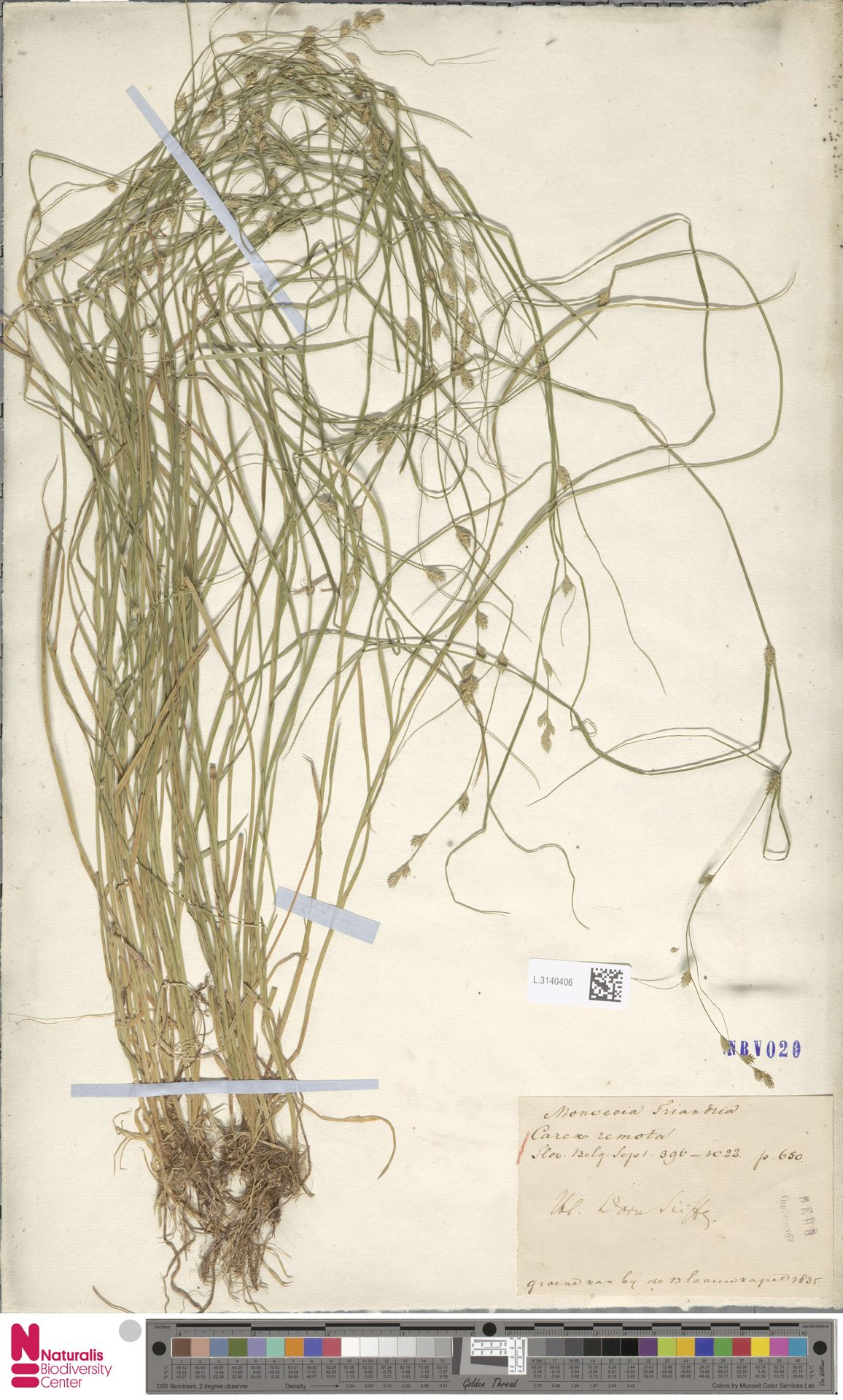 L.3140406   Carex remota L.