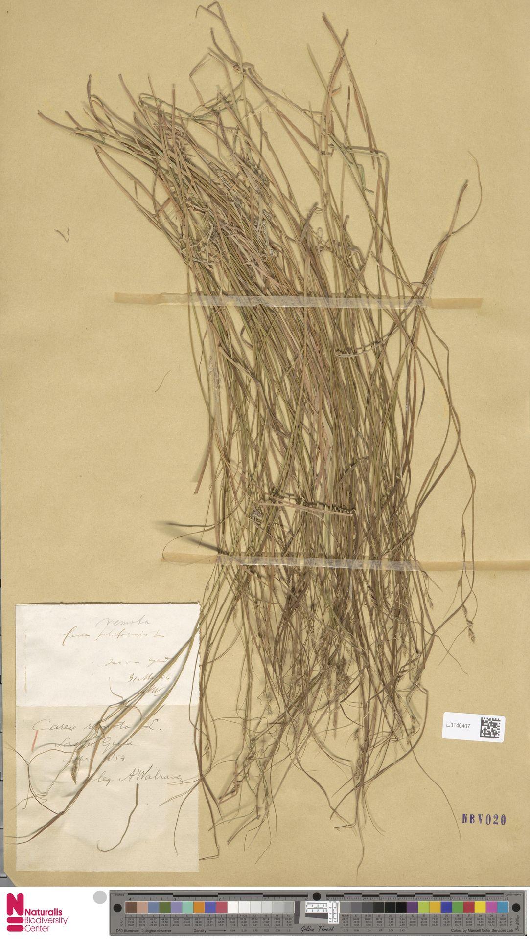 L.3140407 | Carex remota L.