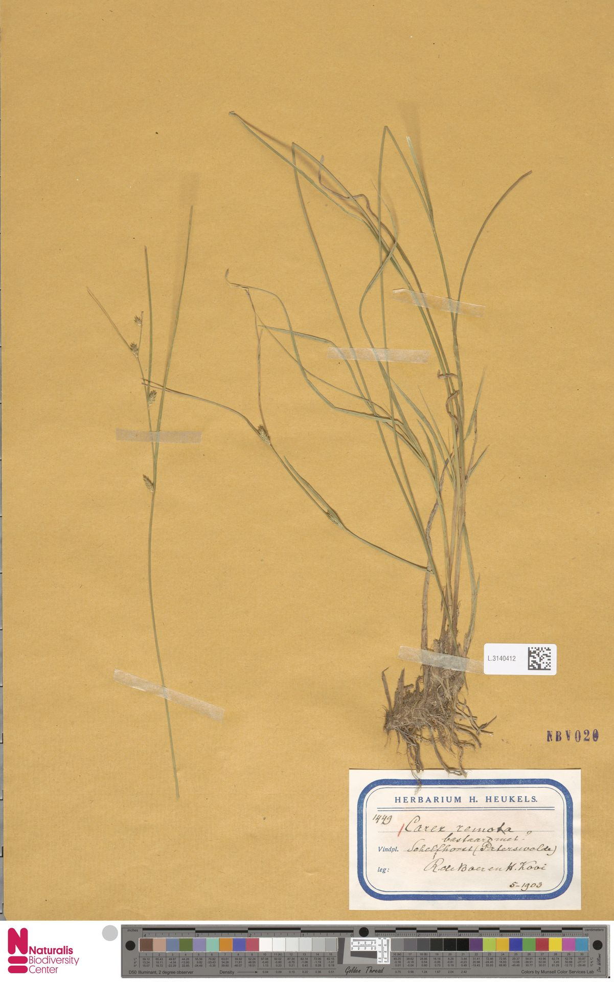 L.3140412 | Carex remota L.