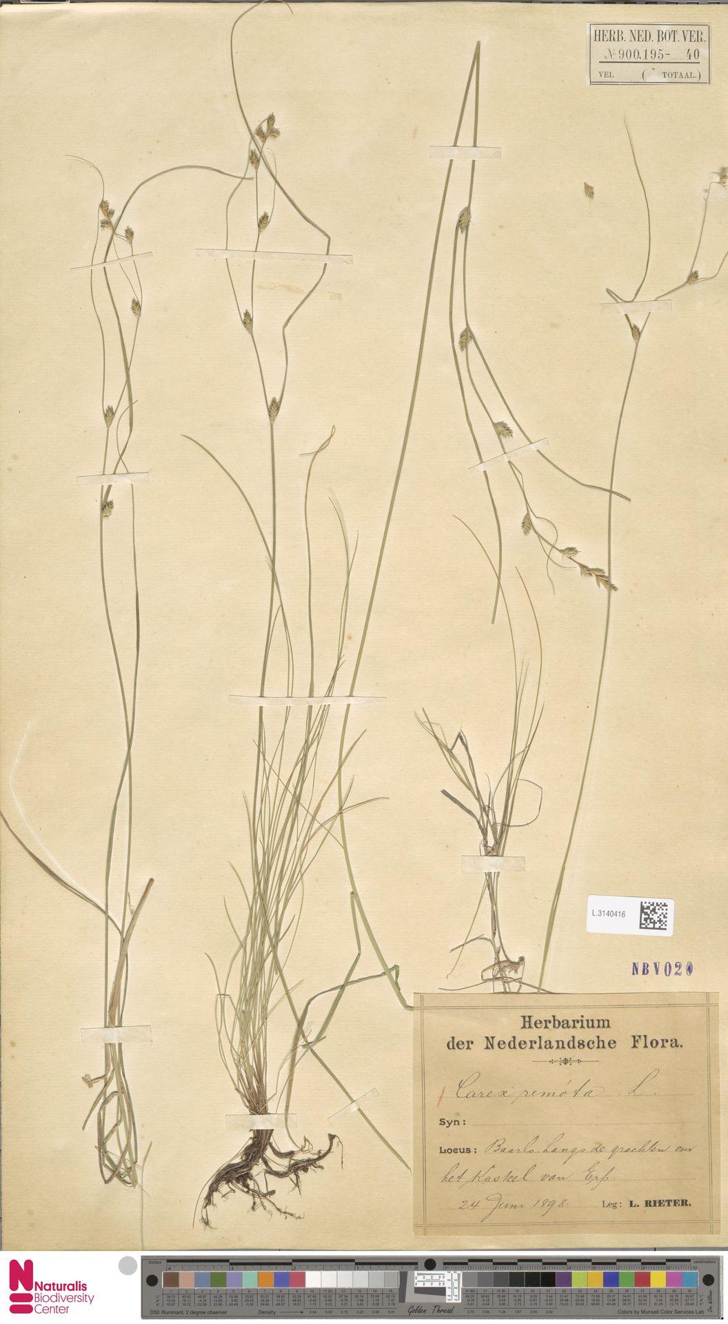 L.3140416 | Carex remota L.