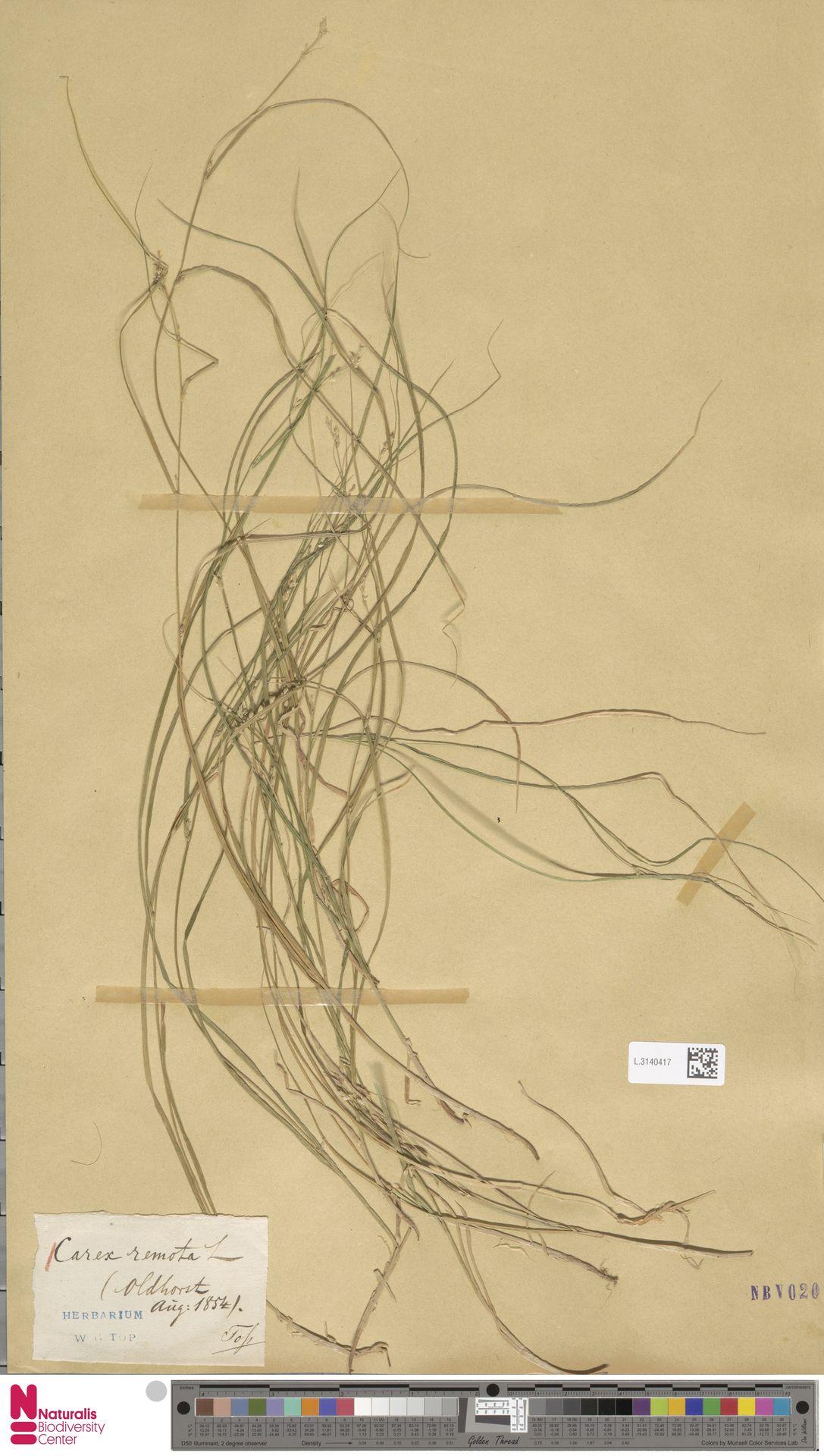 L.3140417 | Carex remota L.