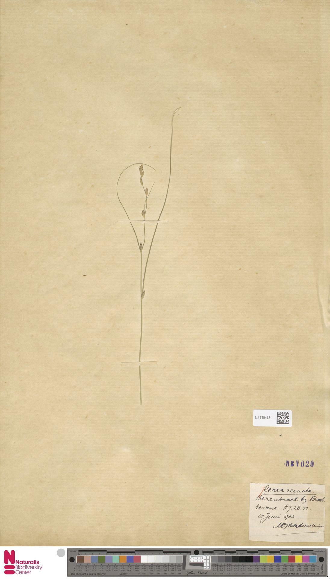 L.3140418 | Carex remota L.