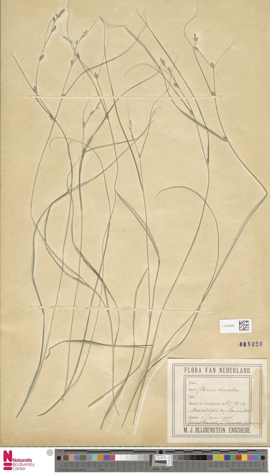 L.3140420 | Carex remota L.