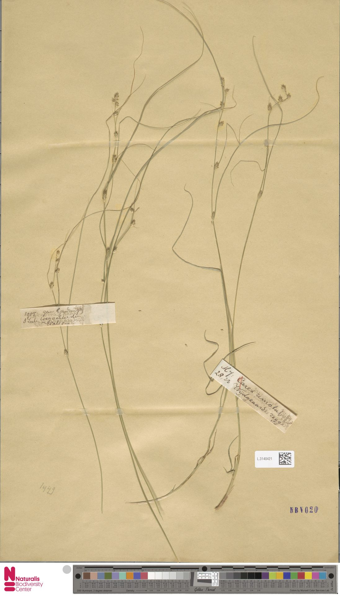 L.3140421 | Carex remota L.