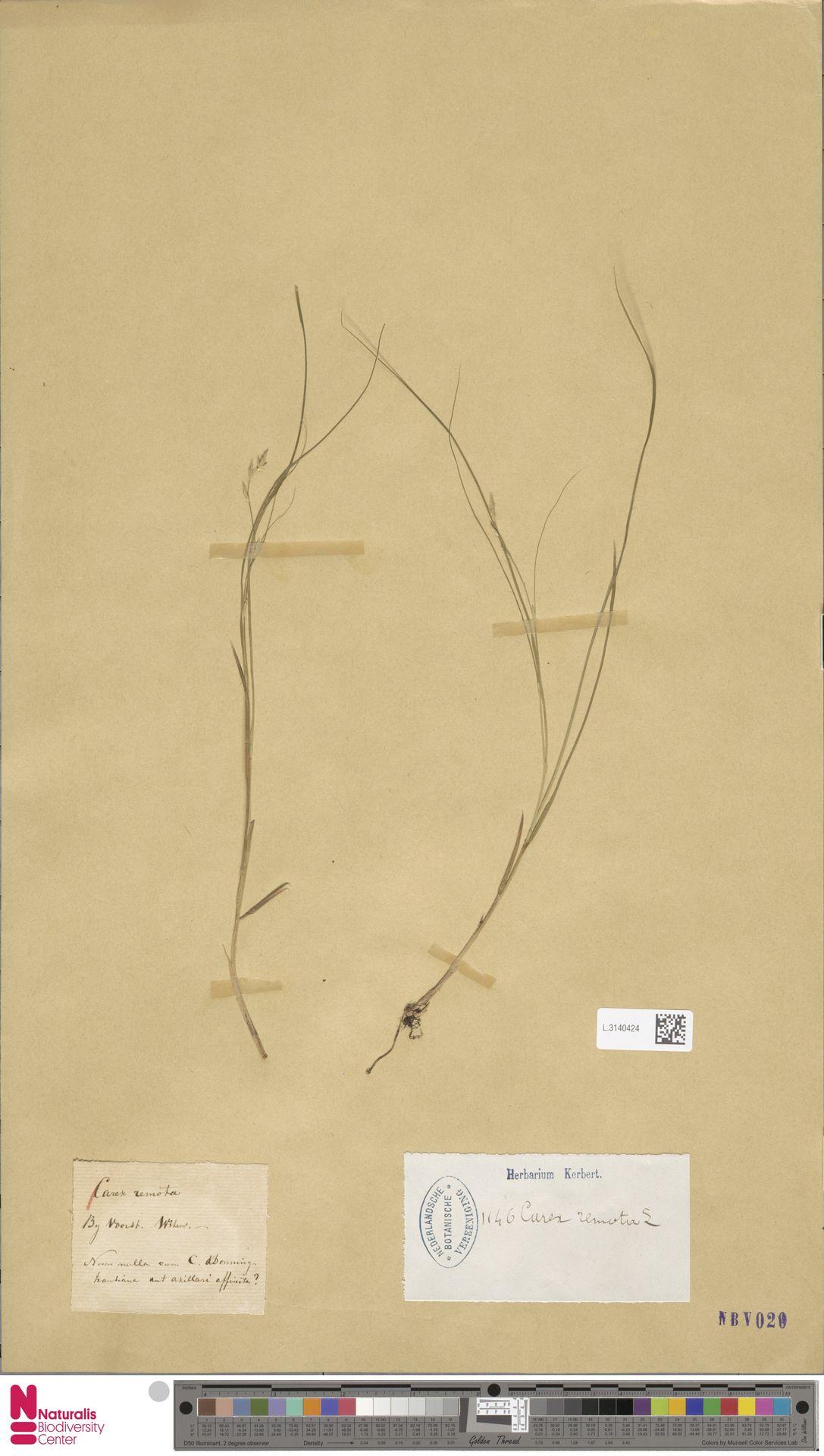 L.3140424 | Carex remota L.