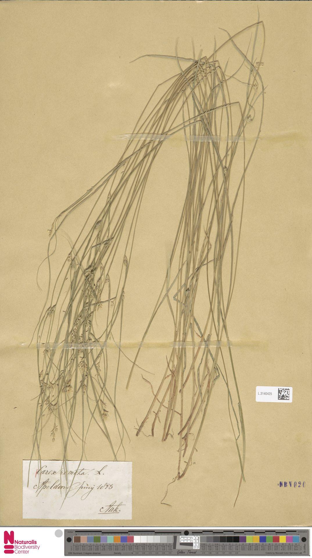 L.3140425 | Carex remota L.