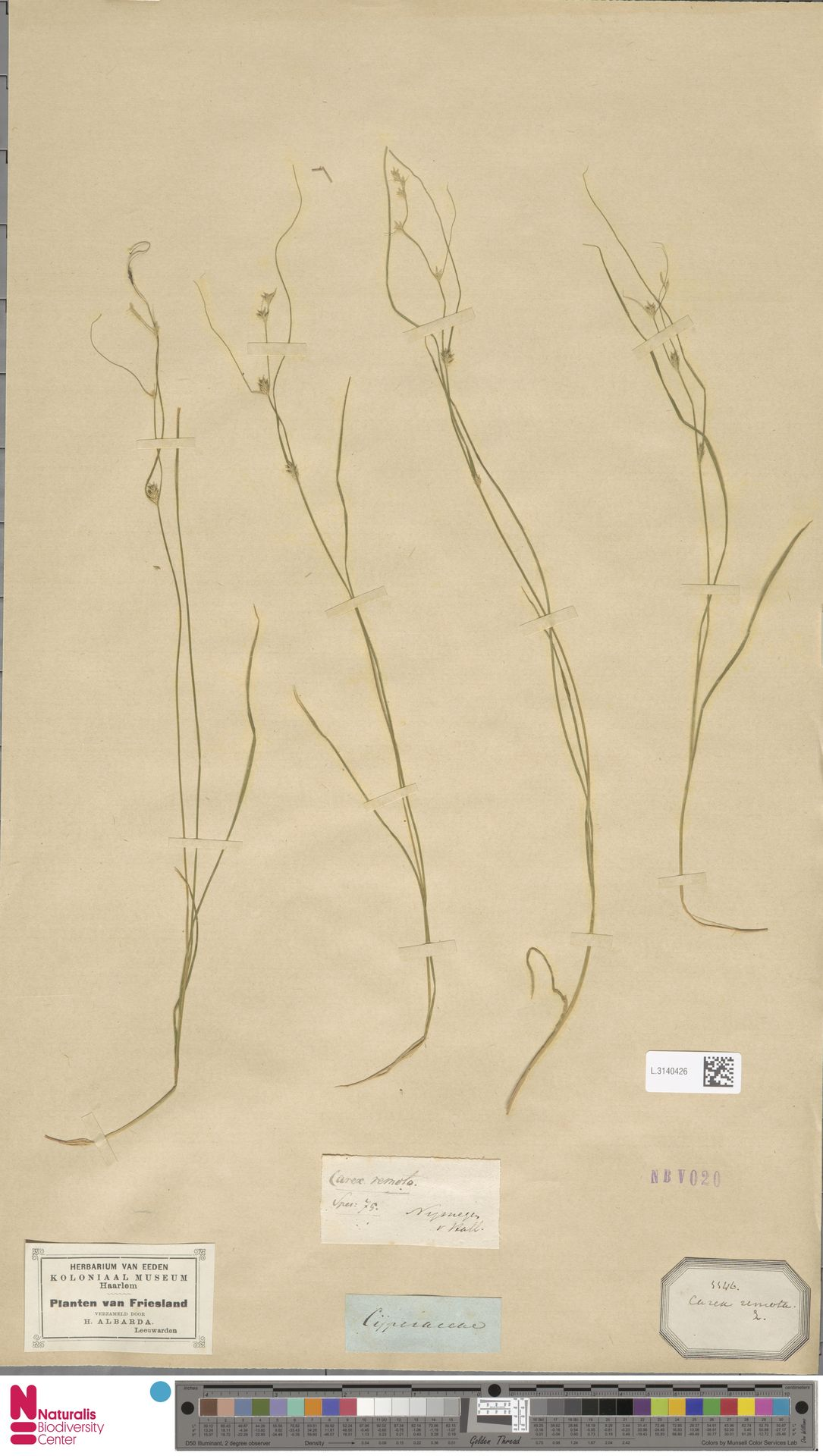 L.3140426 | Carex remota L.
