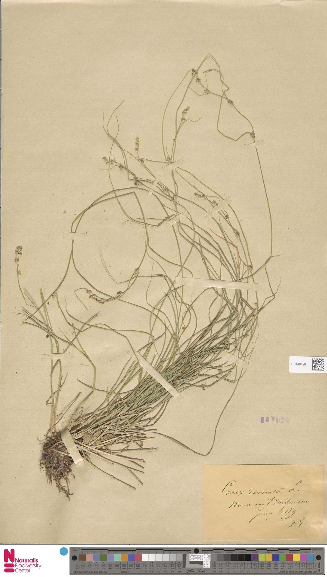 L.3140428 | Carex remota L.