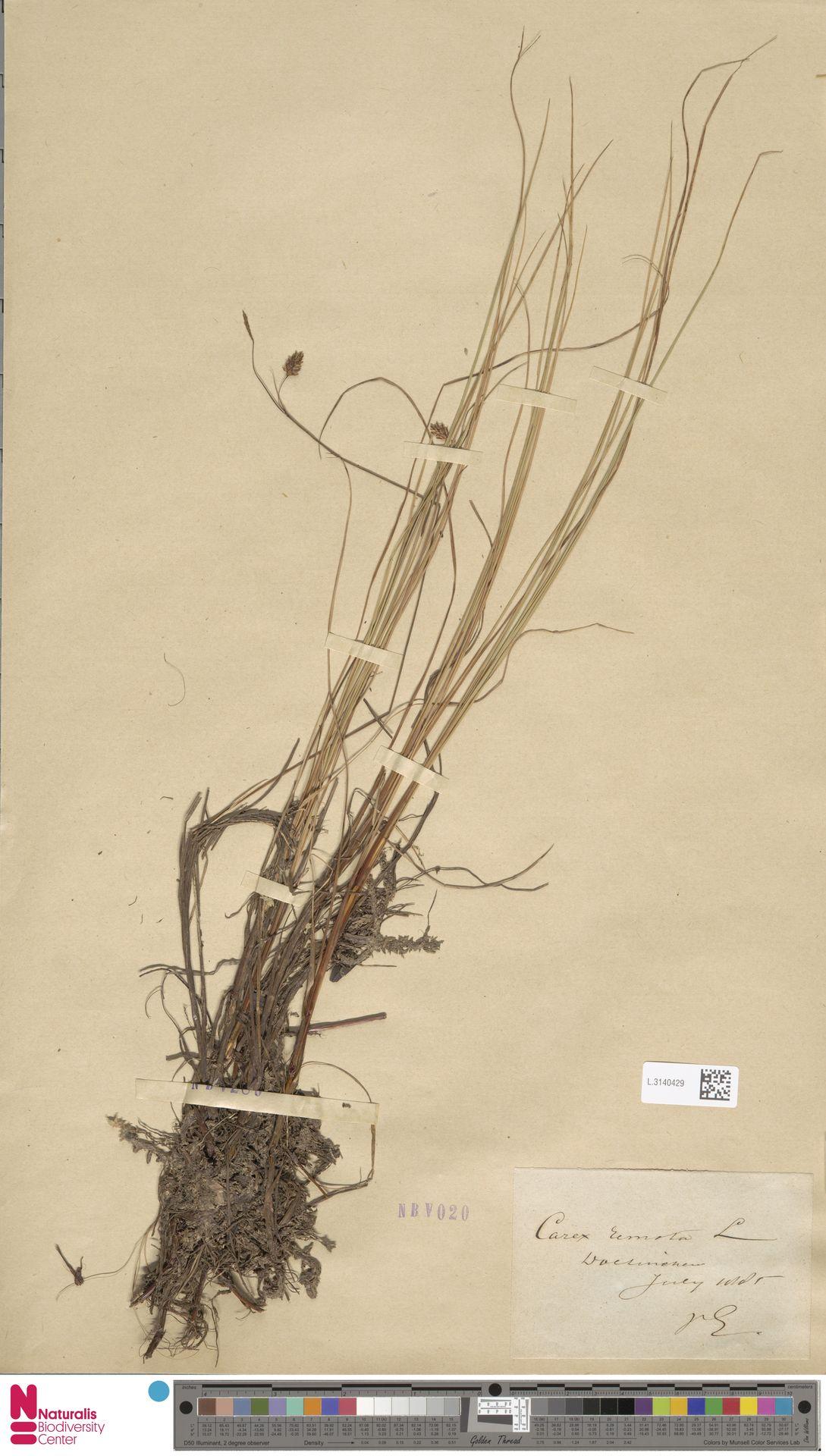 L.3140429   Carex remota L.
