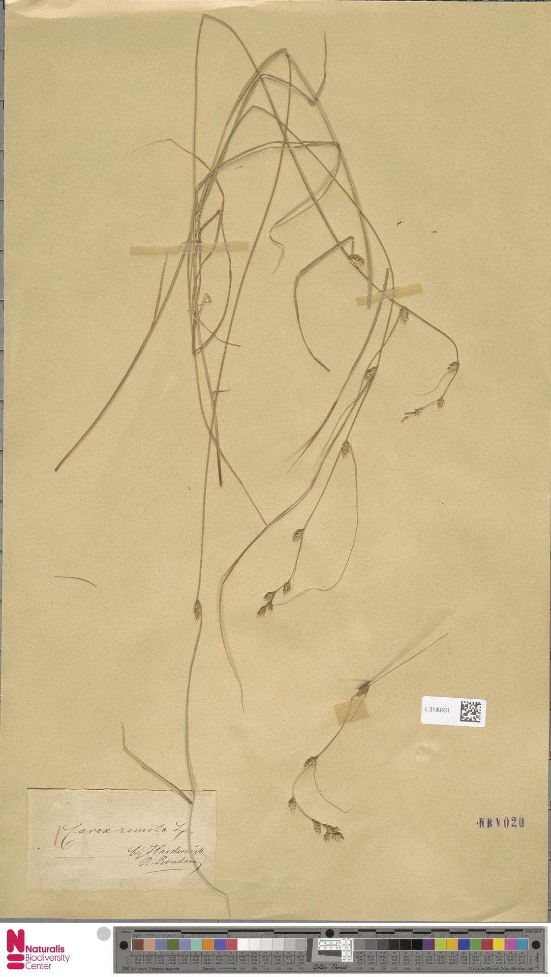 L.3140431 | Carex remota L.