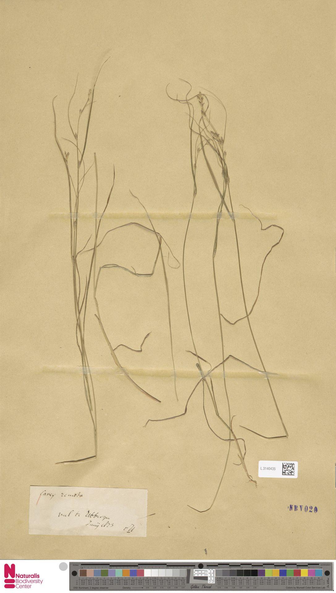 L.3140435 | Carex remota L.