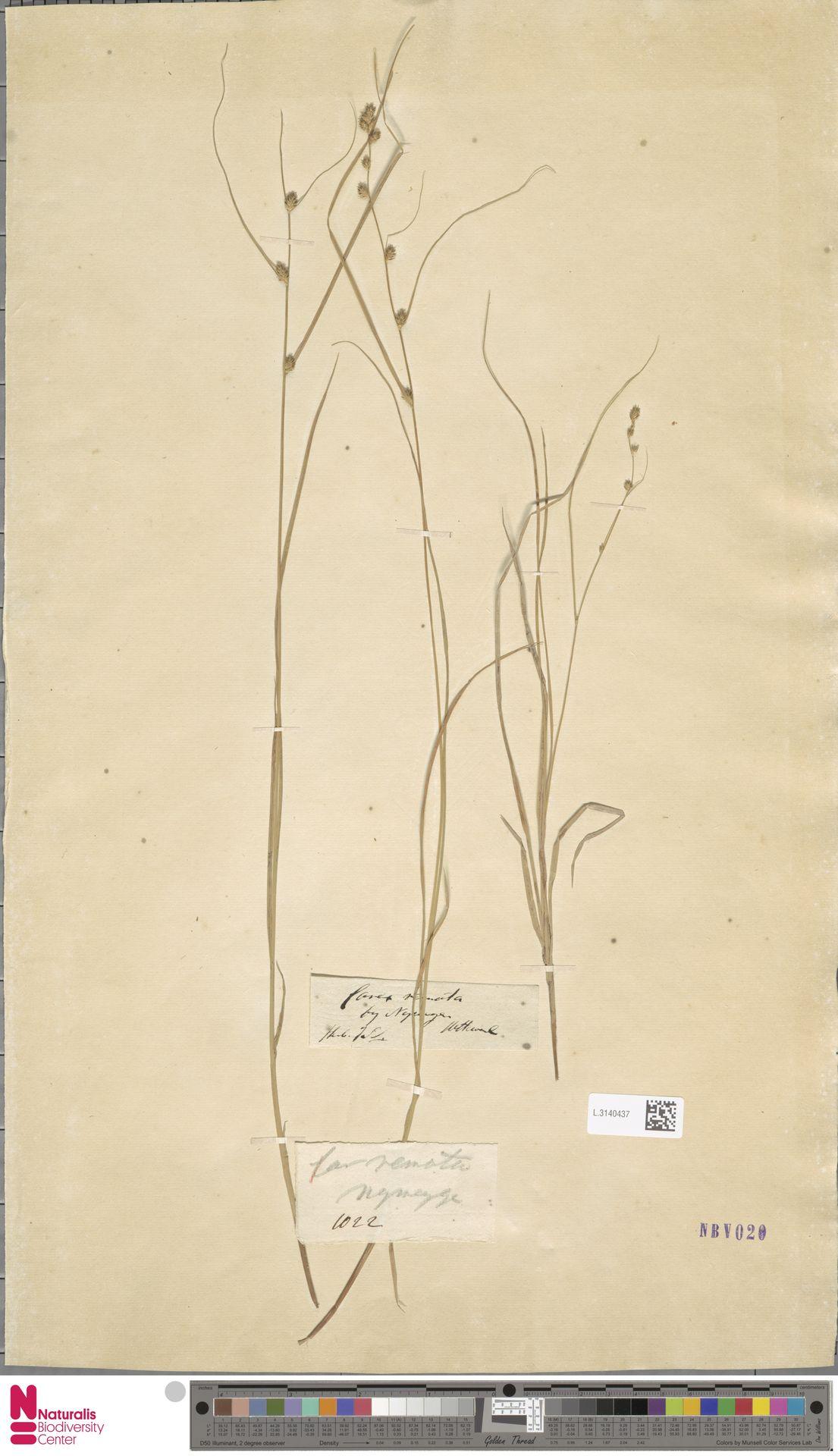 L.3140437 | Carex remota L.
