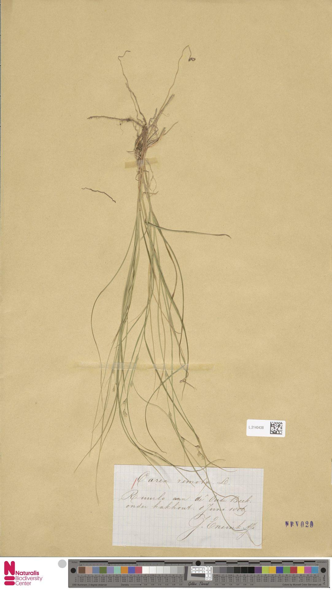 L.3140438 | Carex remota L.