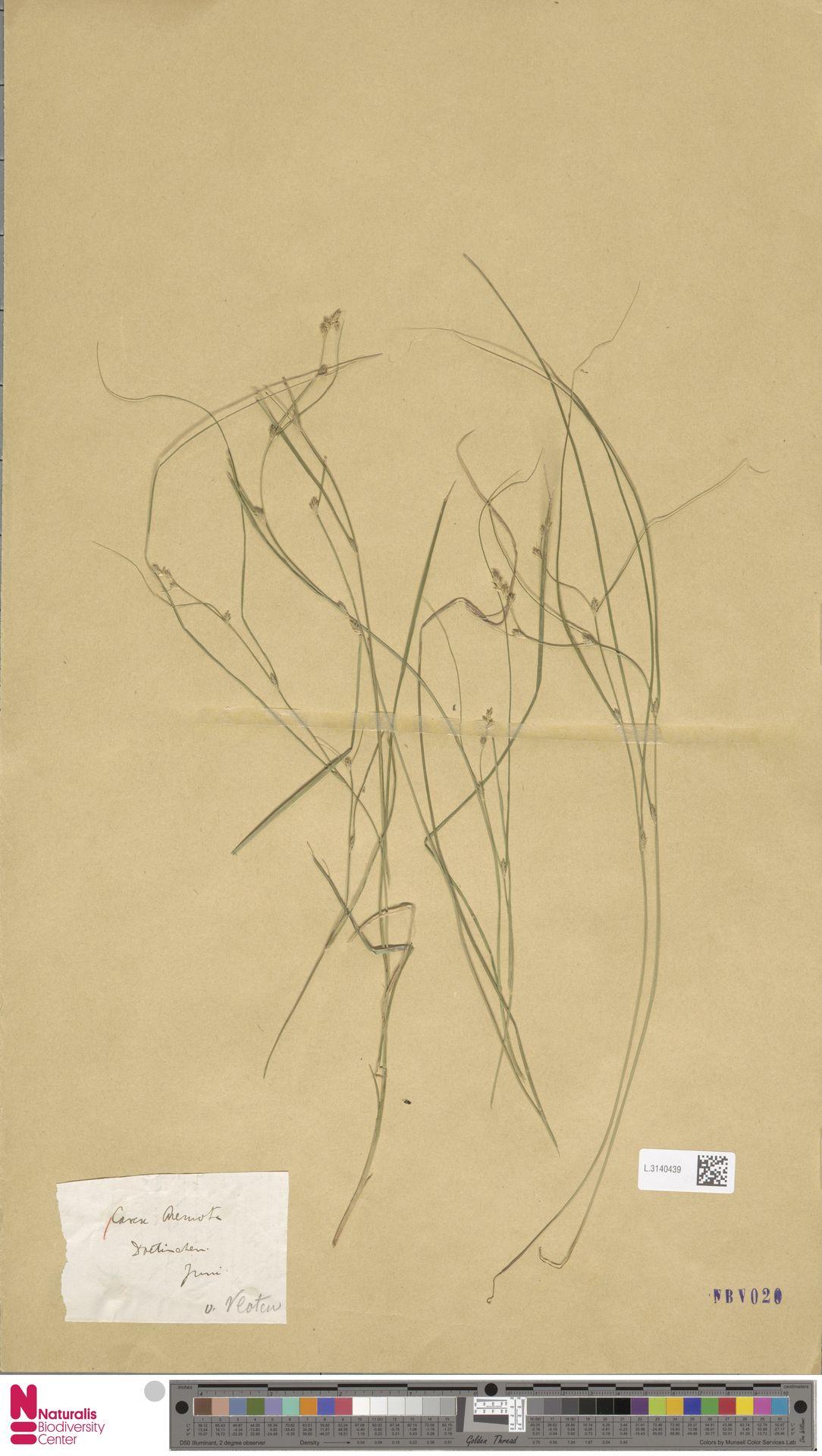 L.3140439 | Carex remota L.
