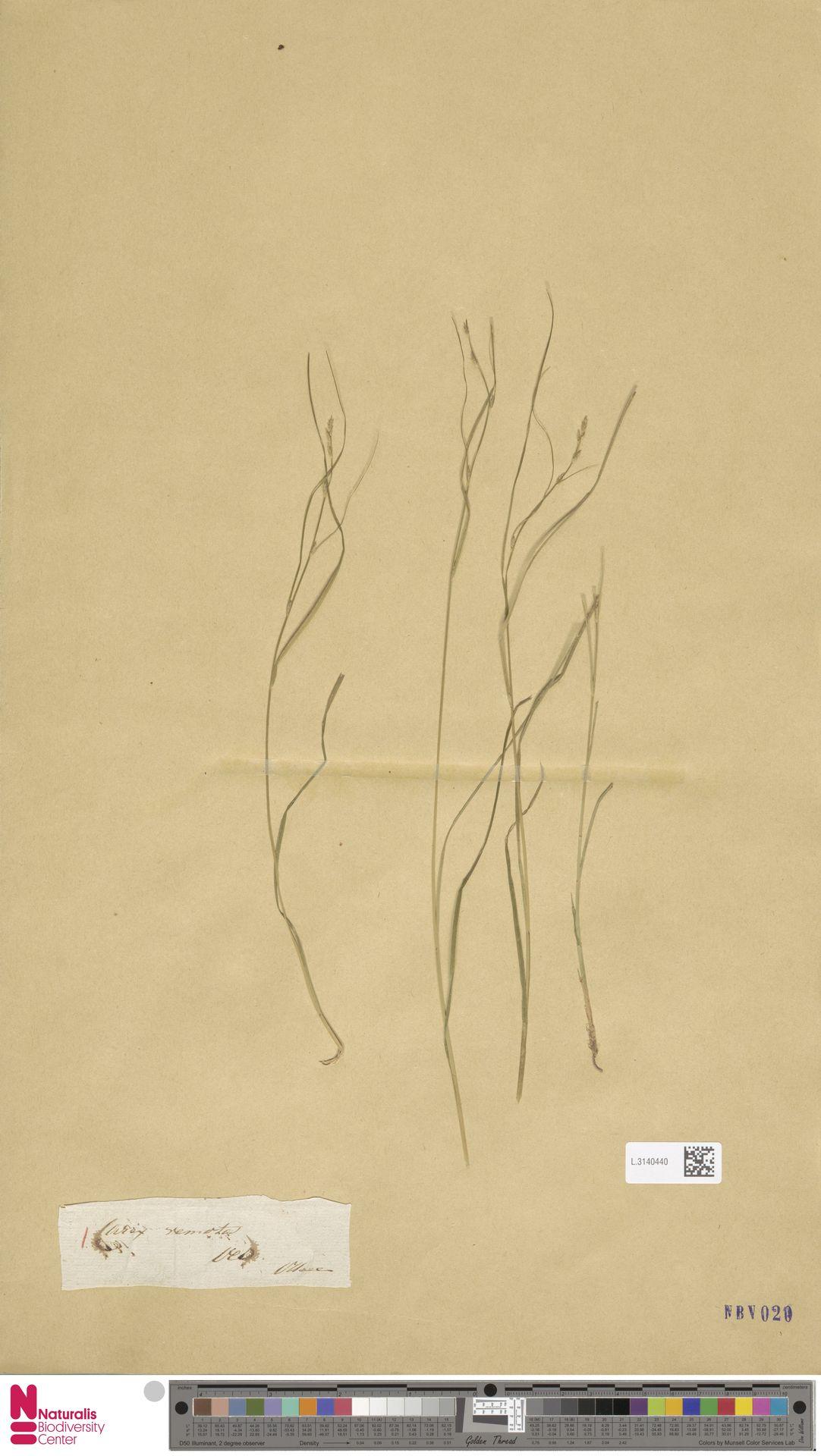 L.3140440 | Carex remota L.