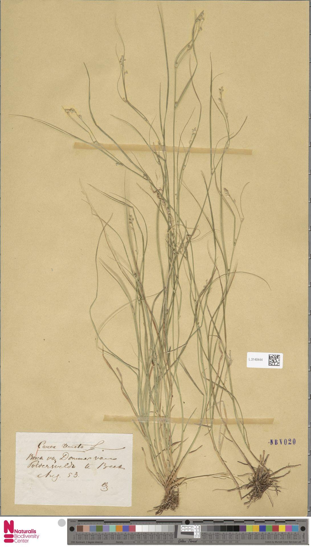 L.3140444   Carex remota L.