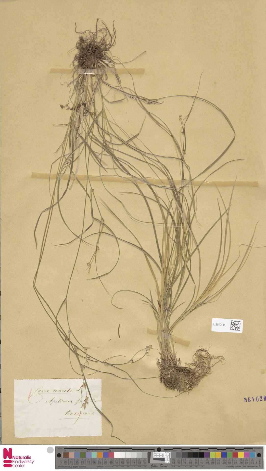 L.3140445 | Carex remota L.