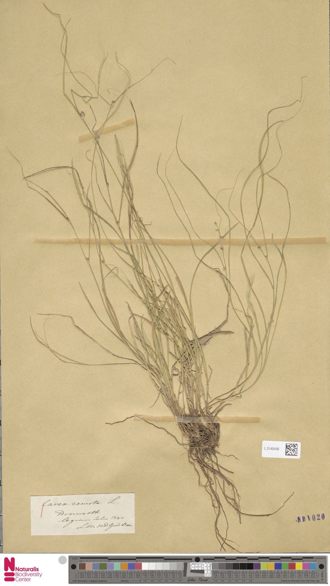 L.3140446 | Carex remota L.